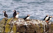 Local Puffins in Scotlans